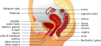 female_anatomy_with_g-spot-en-svg